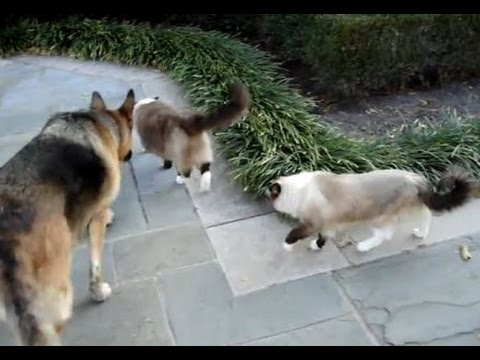 Ragdoll Cats with German Shepherd Napa on a Patio Stroll - ラグドール -- Floppycats