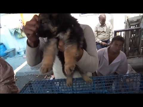 obedient-cute-german-shepherd-puppy-for-sale-l-best-friend-dog-puppy-for-sale-at-galiff-street
