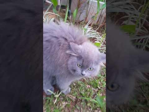 Cute hissing cat