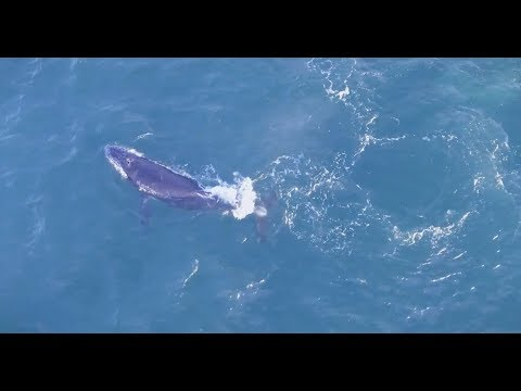 Why Whales Follow Menhaden into the Bay