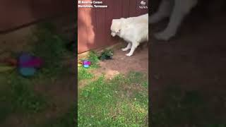 Собаки пытались защитить хозяйку от змеи