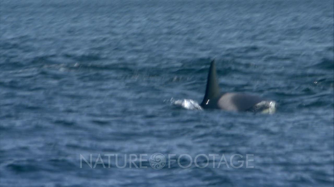 Killer Whales (Orcinus Orca) Attack Gray Whale (Eschrichtius Robustus)