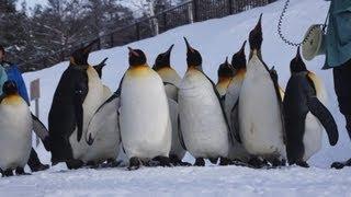 2013年1月に訪問した時のペンギン達のお散歩です。今季は新しい展示施設...