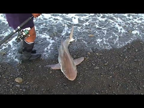 Fishing Trip, Sharks, Kahawai and a Beached Beaked Whale NZ
