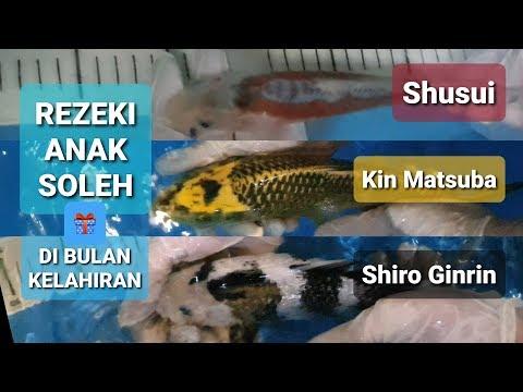 Ikan Koi Ginrin Shiro, Shusui & Kin Matsuba