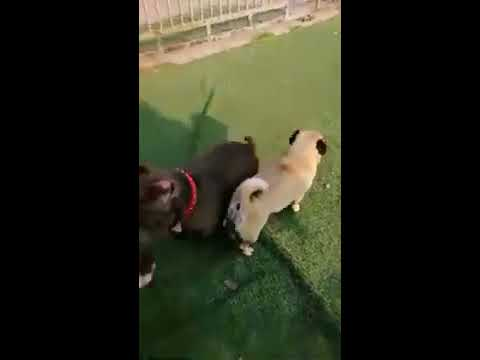 Pitbull | Pug | poodle dog Breed | small Breed  | Part 1 | Pets and Animals |  Pets and Animals