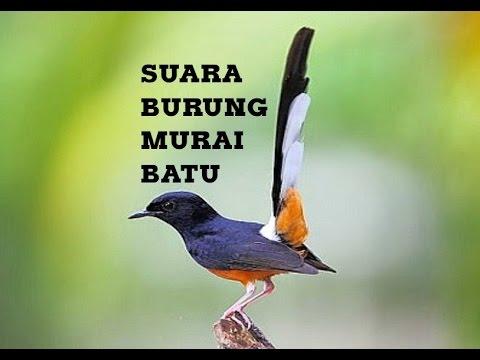 download video download mp3 suara burung murai jambi mp3