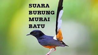 Suara Kicauan Burung Murai Batu buat Masteran