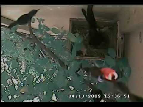 Another clip of male white-rumped shama incubates the eggs