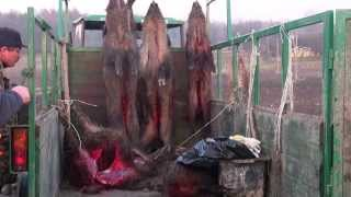 Repeat youtube video Polowanie na dziki z Łajkami. Collective boar hunting with dogs Poland, Krasnystaw