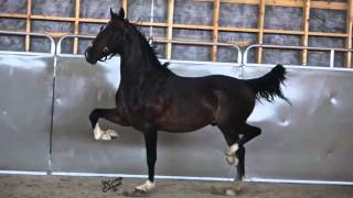 Dominator DHH Stallion 2015
