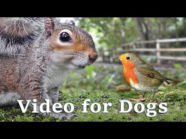 Videos for Dogs to Watch Extravaganza : Dog Watch TV - 8 Hours of Birds and Squirrel Fun for Dogs ✅