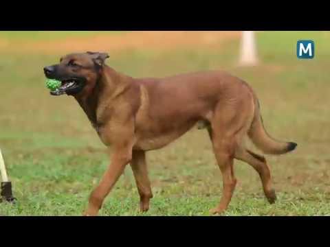 പാലായിലെ റിങ്മാസ്റ്റര്   Saajan k9 dog training school.9961310970
