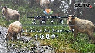 《美丽中国》 牛还是羊 | CCTV
