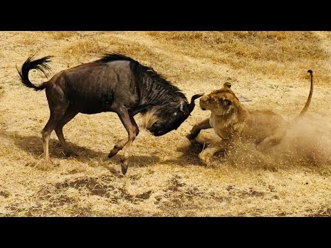 Lion vs Gnu Wild Animal Attack HD