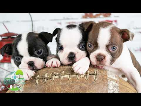 Rugby   Corgi   Windy Acres Puppy Adoptions   Illinois