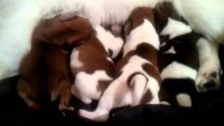 Pom Eskimo / Beagal Mix Pups 5 Days Old