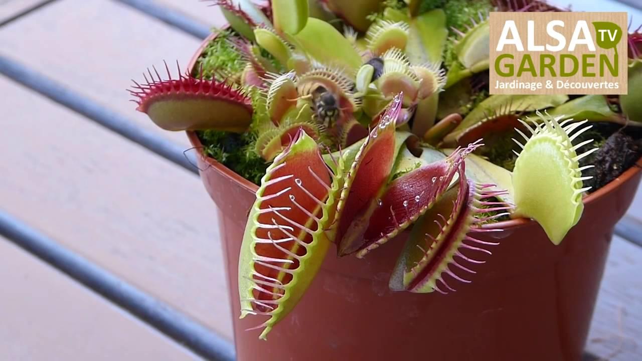 1 la dion e attrape mouche une plante carnivore en action youtube. Black Bedroom Furniture Sets. Home Design Ideas