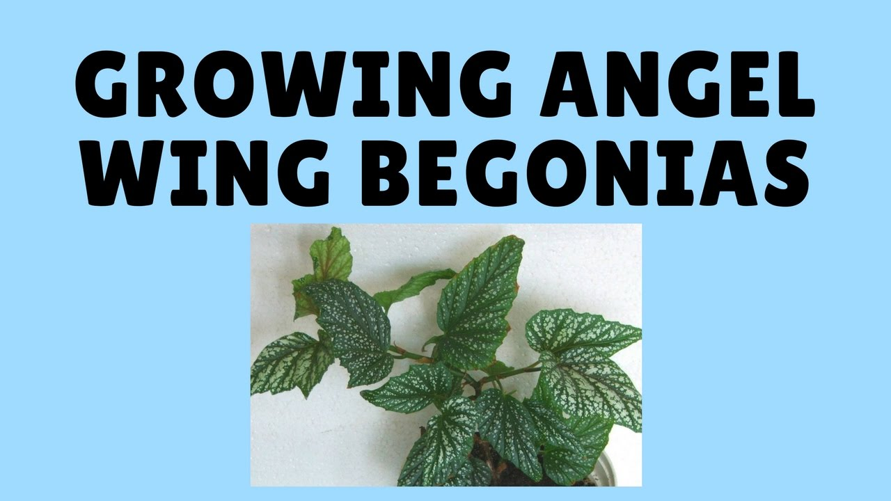 how to take begonia cuttings