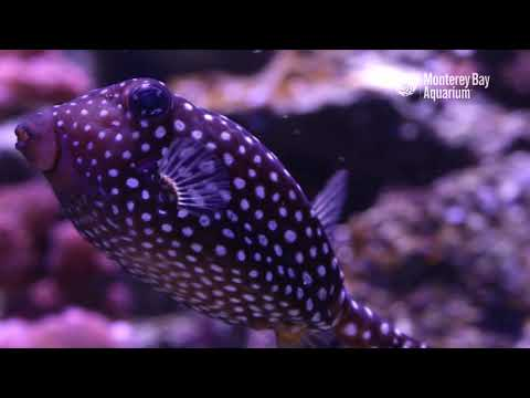A Boxing Day Spotted Boxfish!
