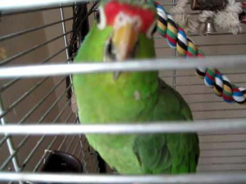 Агрессивное поведение попугая