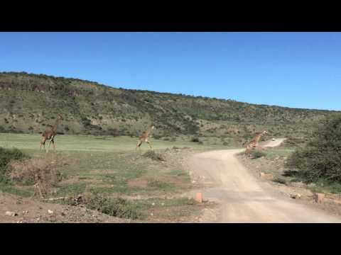 Giraffes in Ngorongoro Conservation Area
