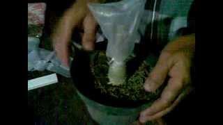 cara stek sambung bunga kamboja