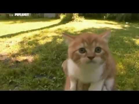 Скоттиш-фолд: фото, видео, описание породы, характер. Шотландская вислоухая кошка
