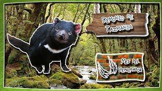 Demonio de Tazmania | Un animal muy rudo en la naturaleza| (Animales del Mundo) |Depredadores|