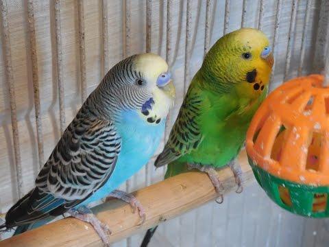 40 Minutes Budgies Parakeets Singing, Chirping. Reduce stress blood pressure heart healing