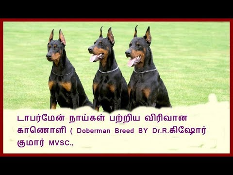 Dobermann or Doberman Pinscher Dog