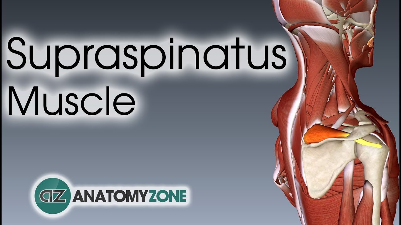 Supraspinatus Muscle Anatomy Youtube