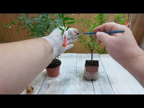 Гранат карликовый из семян в домашних условиях
