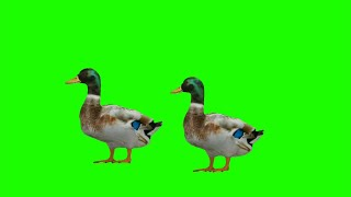 Duck Green Screen   Animal Green Screen