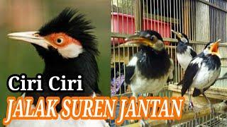 Tips memilih dan membedakan Jalak Suren Jantan dan Betina !!