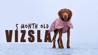 VIZSLA PUPPY  5 month update