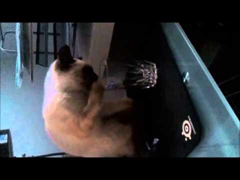 FUNNY Siamese cat!!