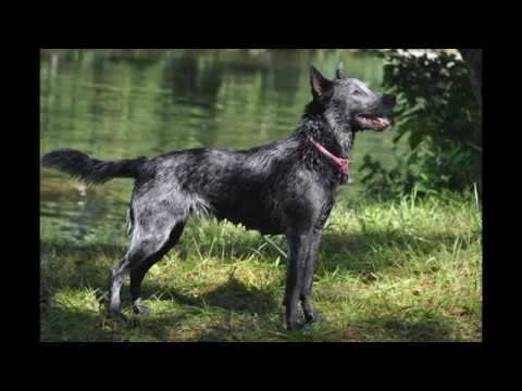 animals Australian Cattle Dog Breed