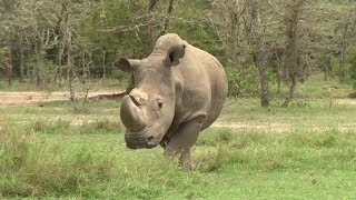 video: Corruption has left poachers free to  kill off the majestic rhino