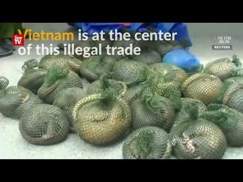Vietnam struggles with illegal pangolin trade