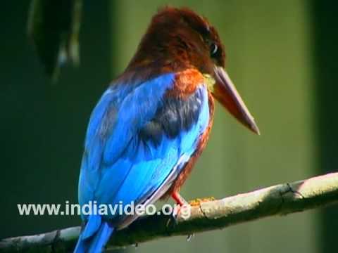 White Breasted Kingfisher, Kingfisher, Ponman, Bird, Wildlife, Fauna, Suresh Elamon