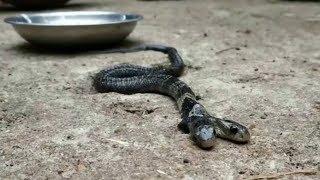 Двухголовая кобра устроила переполох в индийской деревне