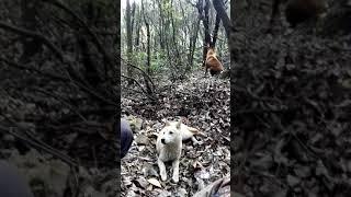 Chinese hound.