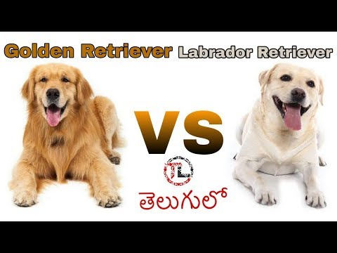 Labrador retriever Vs Golden retriever Dog | Dog Comparison in Telugu