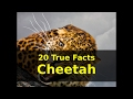 20 True Facts about Cheetah for kids with Audio