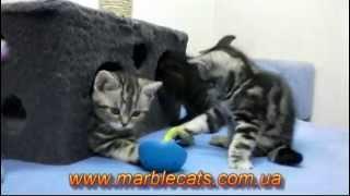 Британские котята Litter N, возраст 2 месяца