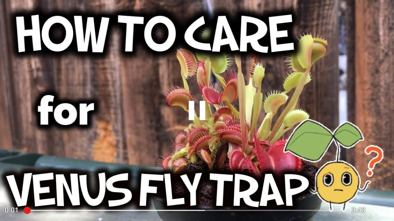 Download How to care for venus fly trap