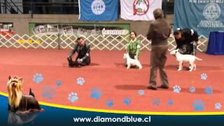 Diamond Blue Yorkshire Terrier Exposición Kennel Club De Chile