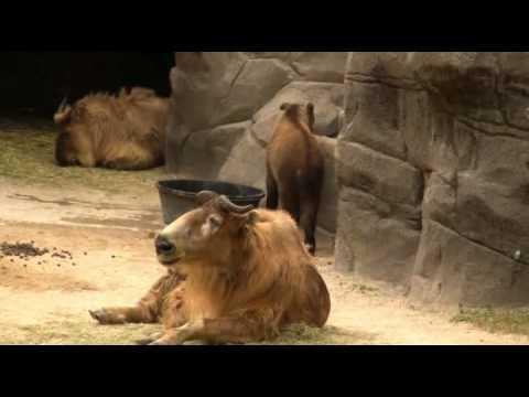 Ungulate Zoo Ungulates at th...
