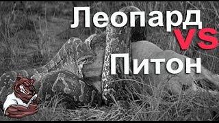 Опасные животные. Дикие животные. Пантера против питона
